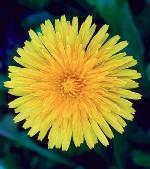 Dandelion 1/4 oz