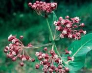 Milkweed 1/4 oz
