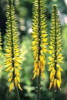 Aloe Vera  1/4 oz