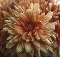Chrysanthemum 1/4 oz
