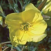 Evening Primrose 1/4 oz