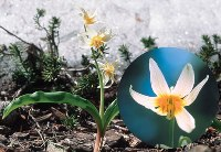 Fawn Lily 1/4 oz
