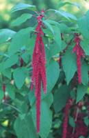 Love-Lies-Bleeding 1/4 oz
