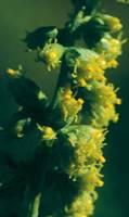 Mugwort 1/4 oz