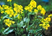 Mustard, 1/4 oz