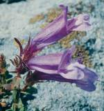Penstemon 1/4 oz