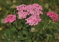 Pink Yarrow 1/4 oz