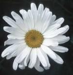 Shasta Daisy 1/4 oz