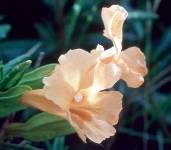 Sticky Monkeyflower 1/4 oz